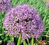 Bay state perennial farm perennials a allium gladiator mightylinksfo Image collections