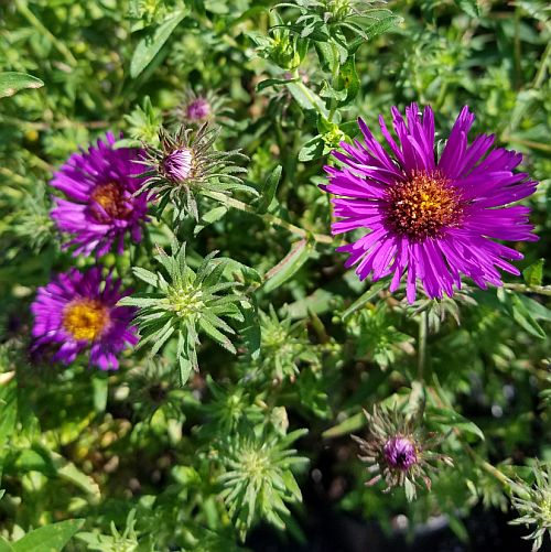 Perennial flowers the best selection of perennial plants bay aster n a marina wolkonsky 500 mightylinksfo