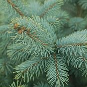Picea pungens Baby Blue 175