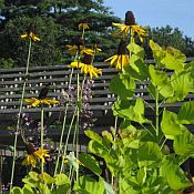 Rudbeckia_maximum_175