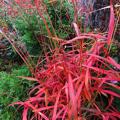 Ornamental grasses bay state perennial farm for Red and green ornamental grass